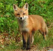 red fox looking at you